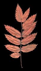 Dry rowan leaf
