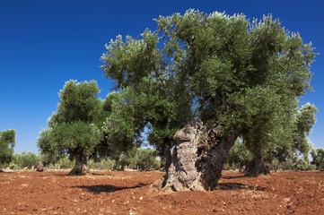 Pianta di olivo centenaria