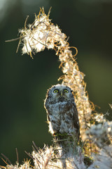 Boreal owl looking up