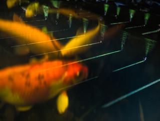 Light reflection on a pond with Koi Carp
