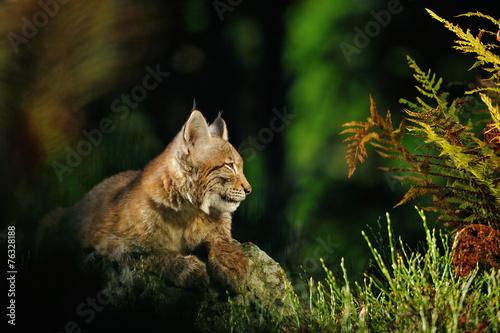 Staande foto Lynx Eurasian lynx in forest
