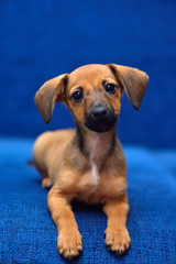 Dachshund puppy on a blue background