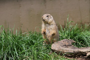 Marmot stood in a ridiculous position