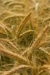 Getreide ©yvonneweis