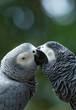 ������, ������: Macaws parrots