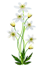 snowdrop flower isolated on white background