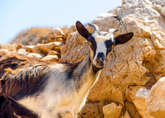Young cute wild goat in Amorgos island in Greece