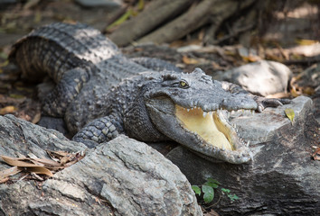 Crocodiles are opened his mouth to adjust the temperature.