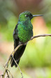 canvas print picture - Kolibri