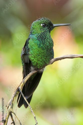 canvas print picture Kolibri