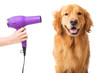 Groomer blow drying golden retriever dog - 76335536
