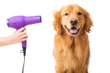 Groomer blow drying golden retriever dog