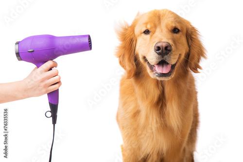 Leinwandbild Motiv Groomer blow drying golden retriever dog