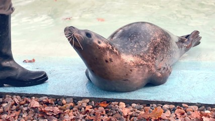 Training of a harbour seal (Phoca vitulina): holding back fins