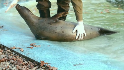 Training of a harbour seal (Phoca vitulina): touching its belly