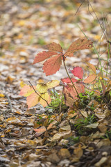 Reddened autumn leaves