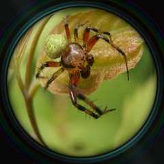Spider on leaf in objective lens