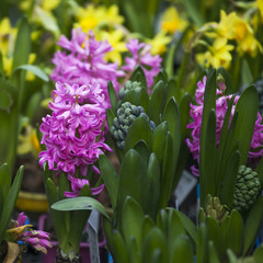 Group multicolored hyacinths. Spring landscape.