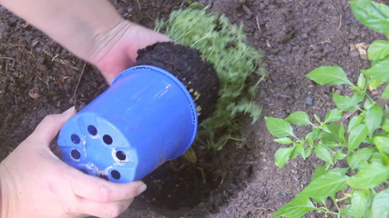 Planting thyme seedlings and watering in garden bed
