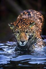 Jaguar in the Water