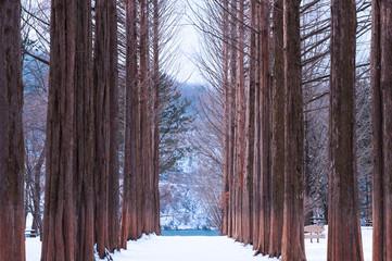Nami island,Row of pine trees.