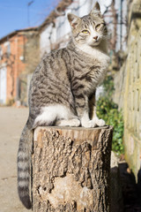 Cat over log, front view