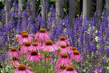 Steppen-Salbei; Salvia nemorosa, roter, Sonnenhut