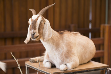 A goat by itself in a barn in Queensland.