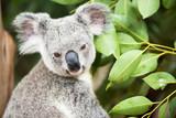 An Australian koala outdoors.