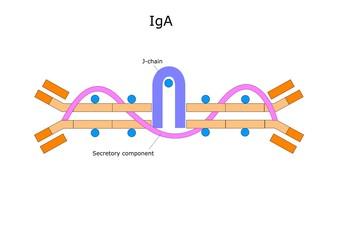struttura di un anticorpo, immunoglobulina A (IgA)