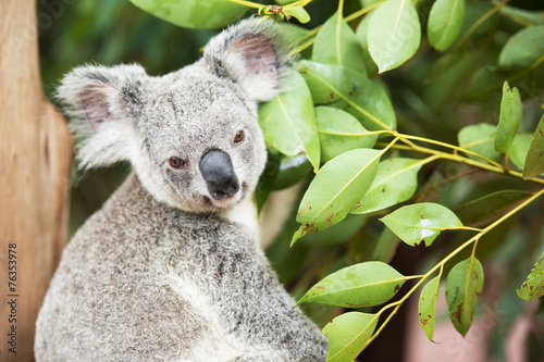 Foto op Canvas Koala An Australian koala outdoors.
