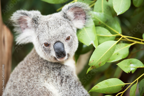 An Australian koala outdoors.