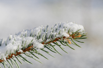 Spruce tree branch with snow