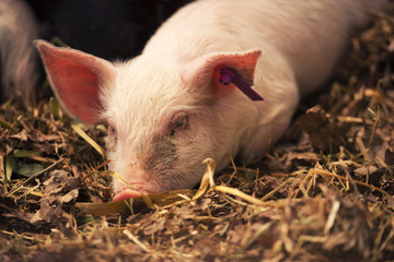 Farm Animal - Young piglets laying in straw in the barn.