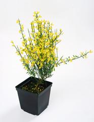 Cytisus praecox Allgold in a pot