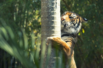 Large Bengal Tiger by itself outdoors in the Sunshine Coast, QLD