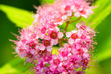 Flower of Spiraea japonic, Meadowsweet, Rosaceae, Japan poster