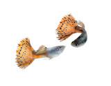 guppy fish isolate on white - 76357710