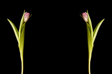 mirrored tulip flower on black background