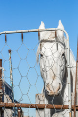 white horse behind a metal fench