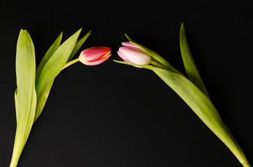 two tulips kissing on dark background