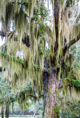Old Oak Draped with Green Spanish Moss