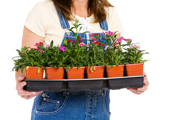 Garden: Woman Holding Flat of Colorful Dianthus Annuals
