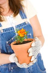 Garden: Focus on Marigold in Pot