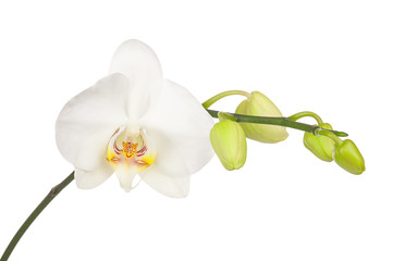 Blooming twig of white orchid isolated on white background.