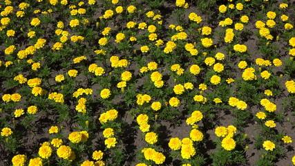 Yellow marigolds. 4K.