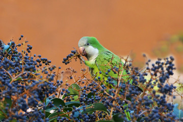 exotic parrot eating fruit on the tree