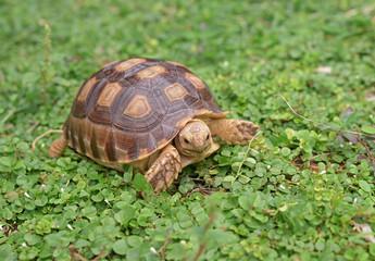 african spurred turtle on green garden