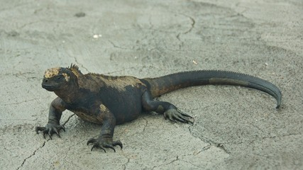 Marine Iguanas on Galapagos Islands