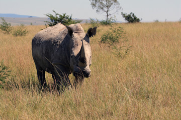 Rhino, rhinoceros,  Kruger national Park